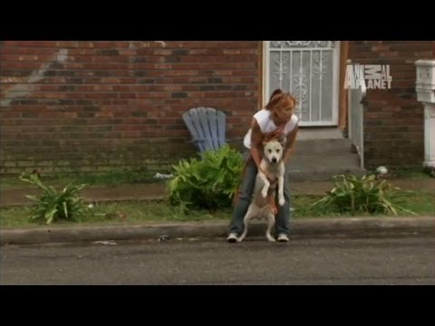 A Rainstorm Rescue | Pit Bulls and Parolees