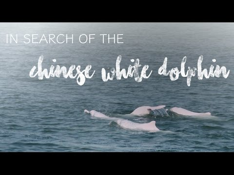 In search of the Chinese White Dolphin