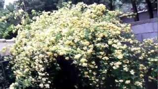 """Le rosier de Banks """"Lutea"""" en fleurs"""