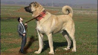 Gercek Bir Dev Anadolu Aslani One Real Giant Anatolian Lion