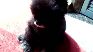 Spooky The Pomeranian Having Seizures From Frontline Certifect Flea Product