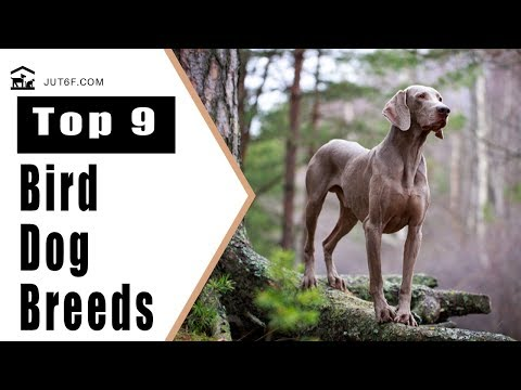 Top 9 Bird Dog Breeds