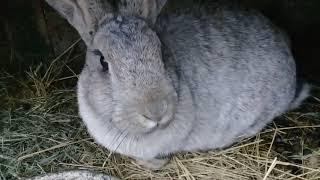 Мои крольчихи родили! Обзор клетки и кормление кормящих кроликов.