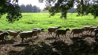 Herd of sheep on the Beaumont-Hamel Baefield running to get food. Funny