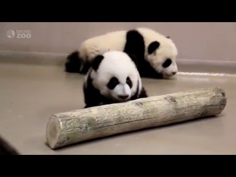 Toronto Zoo Giant Panda Cubs Walking at 4 Months Old!