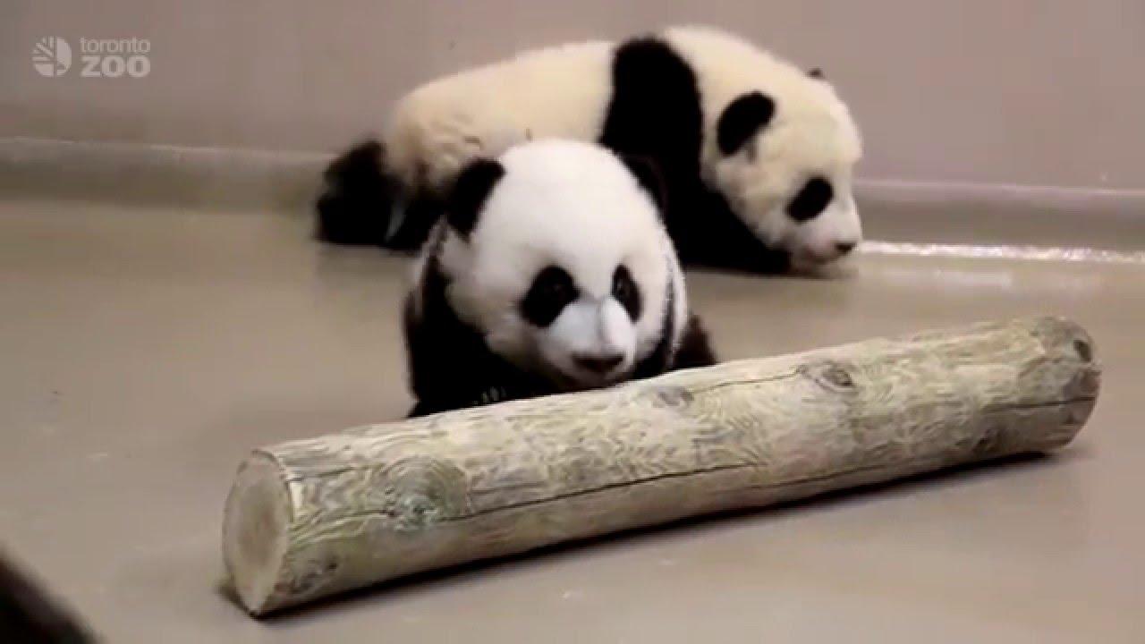 Toronto Zoo Giant Panda Cubs Walking At 4 Months Old YouTube