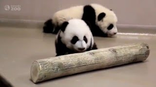 Repeat youtube video Toronto Zoo Giant Panda Cubs Walking at 4 Months Old!
