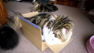 おでぶさんだけど箱が大好きな我が家のネコ 今日も小さな箱に挑戦!