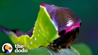 Watch This Caterpillar Turn Into A Puss Moth | The Dodo