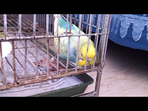 How to treat a sick budgie| Tips on treating a sick bird in 2 simple ways