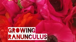 How to Grow Ranunculus Corms in Zone 6