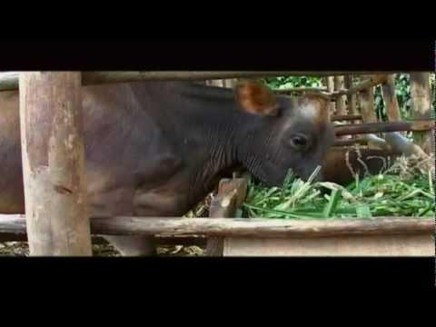 Girinka (One Cow per Poor Family Program) Documentary from the Rwanda Governance Board
