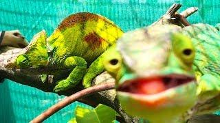 Ozzy Man Reviews: Chameleons