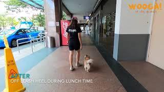 [14 Days Board And Train] Buddy, Tibetan Spaniel, 11 Years Old