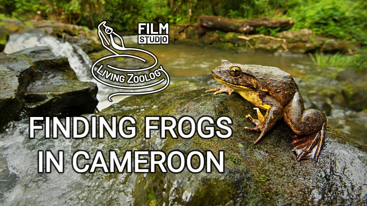 Finding Frogs in Cameroon (wildlife documentary by Living Zoology)