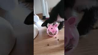 아기고양이 asmr!! 푸드 장난감 사용하기! 무기력하…