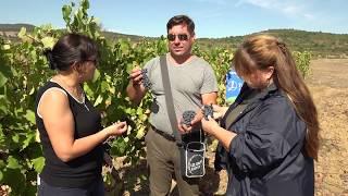 """Гроздобер в лозя на """"Южно вино"""" АД, отглеждани по технология на Тимак Агро"""