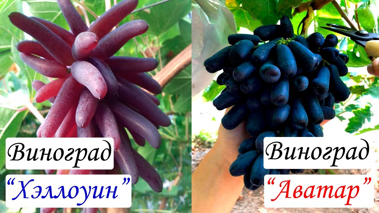 Основные рекомендации при покупке Дорогих новинок винограда