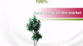 6 foot Dracaena Reflexa Tree: Potted - artificialplantsandtrees.com