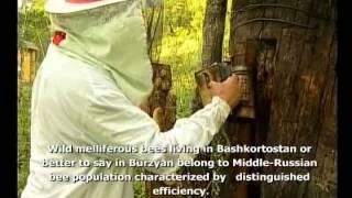 Дикий башкирский мёд(Производство и продажа башкирского бортевого мёда. Оптовые поставки мёда. Национальный продукт Башкортост..., 2015-04-21T12:19:29.000Z)