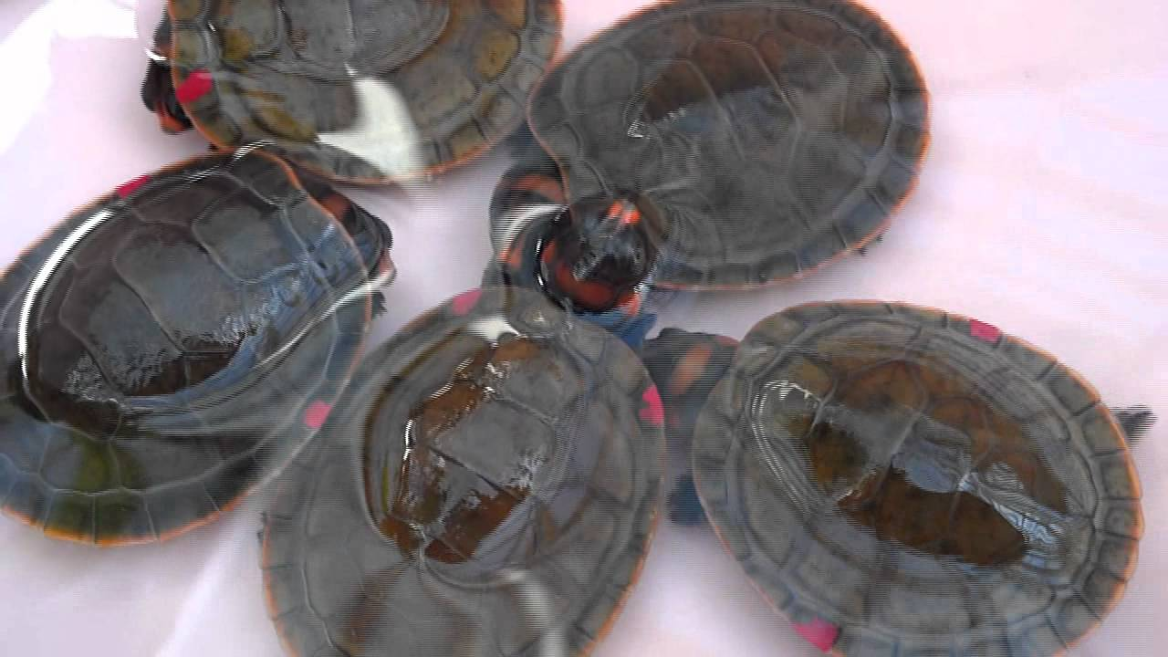Red Headed Amazon River Turtle Babies At The Tennessee Aquarium Youtube