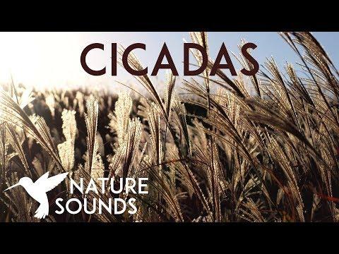10 HOURS of Cicadas Sounds ~ Summer Nature Sounds in Japan ~ Sleep, Study, Meditation & Yoga