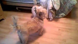 Cairn Terrier Wrestling Match