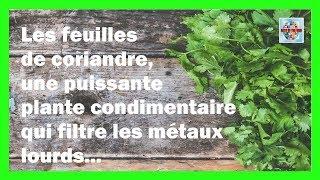 Les bienfaits de la feuille de coriandre une plante condimentaire aux 1000 vertus