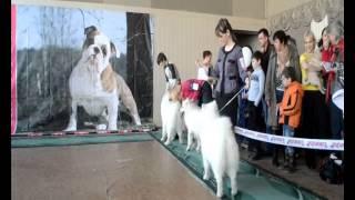Выставка собак в г.Томск. Ринг самоедов. Сравнение на ЛПП.
