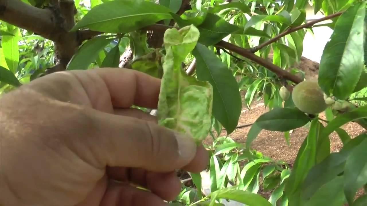 peach leaf curl u0026 how to improve fruit quality youtube