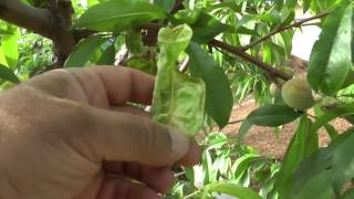 Peach Leaf Curl & How to Improve Fruit Quality