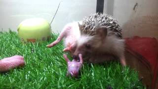 Video Hedgehog giving birth download MP3, 3GP, MP4, WEBM, AVI, FLV Januari 2018