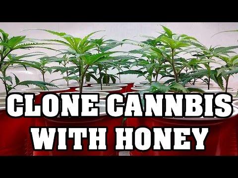 How To Clone Cannabis - Save Money Use Honey
