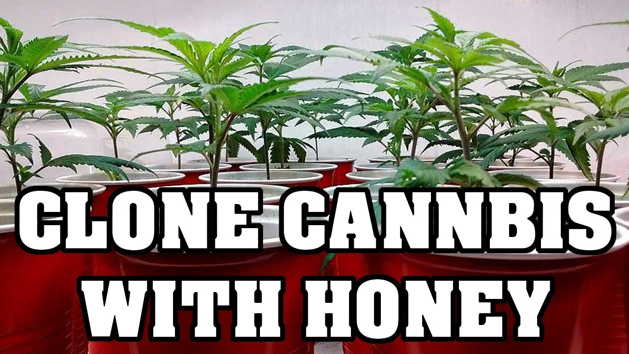 how to clone plants save money use honey youtube. Black Bedroom Furniture Sets. Home Design Ideas