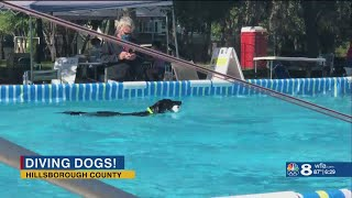 Dog dock diving competition held in Hillsborough County