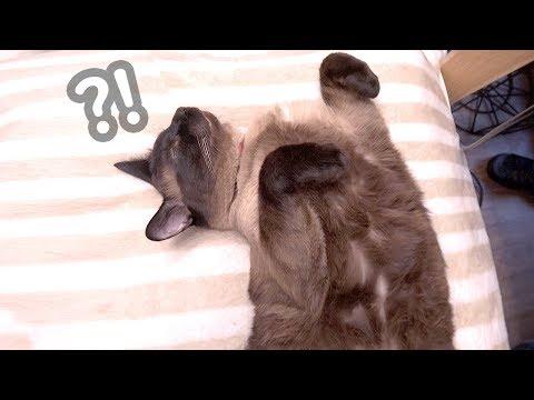수컷 고양이에게도 젖꼭지가 있을까?  | 김메주와고양이들