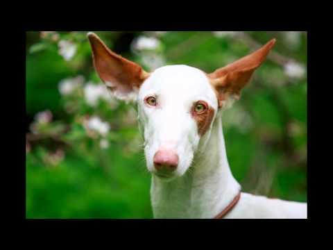 Ibizan Собака/Ibizan Hound (порода собак HD slide show)!