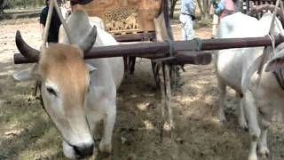 oxcart parade Sukhothai  牛車の行進@スコータイ