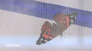 How to Care for Painted Lady Butterflies