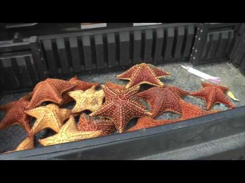Decomisan estrellas de mar a turistas en Castilla