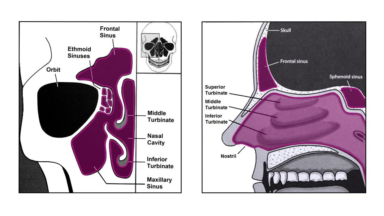 Nasal Endoscopy And Sinus Anatomy