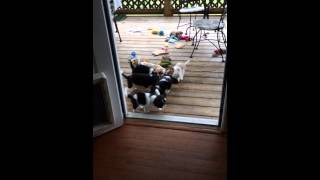 Cavalier King Charles Spaniel Puppy Tug-of-war