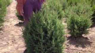 Можжевельник (3). Посадочный материал собственного производства.(Добрый день! Мы занимаемся выращиванием и продажей растений для ландшафтного дизайна. В ассортименте собст..., 2014-07-02T15:39:12.000Z)