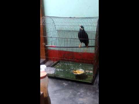 Talking Bird Moyna in Bangladesh