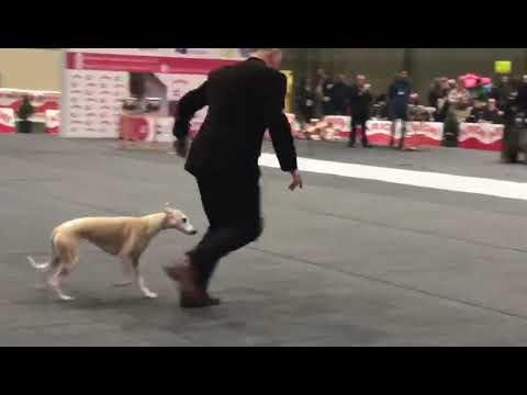 Competición de perros en Lugo