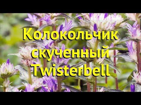 Колокольчик скученный Твистербелл. Краткий обзор, описание campanula glomerata Twisterbell