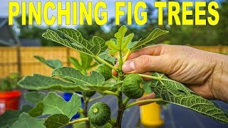 When, Why And How To Pinching Fig Trees To Force Early Fruiting