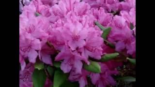 """Цветение рододендрона вечнозелёного """"Arnita""""."""