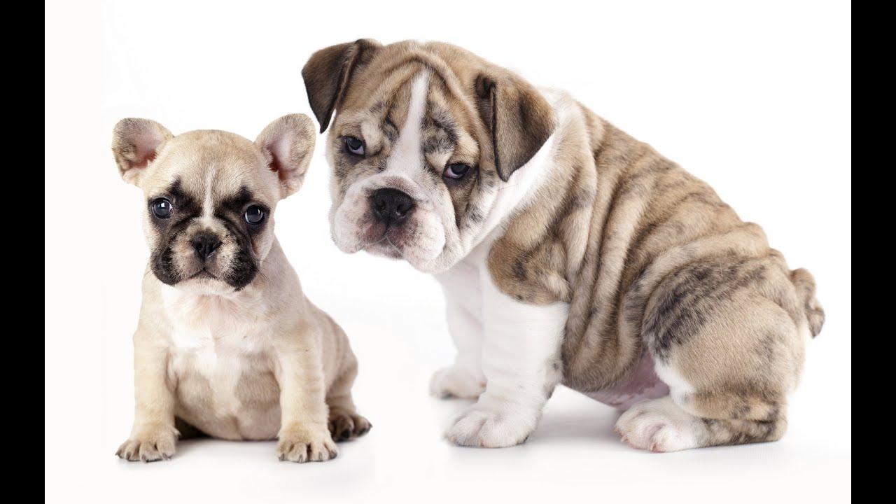 Породы собак французский бульдог и английский бульдог. - YouTube