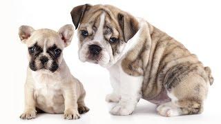 Породы собак французский бульдог и английский бульдог .